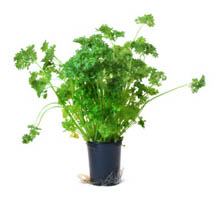 Pot of parsley.
