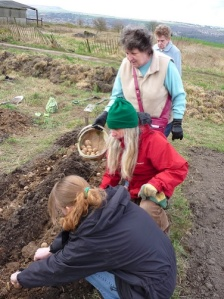 Planting potatoes at Stirley Farm