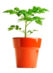 Tomato plant in pot