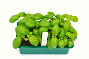 Basil growing in a seed tray