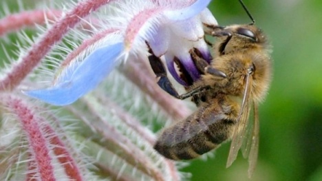 bee on a borage flower
