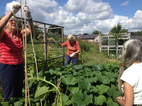 gardeners organising the courgette plants