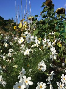 flowers on an allotment