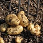 Home Guard potatoes