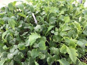Kale seedlings